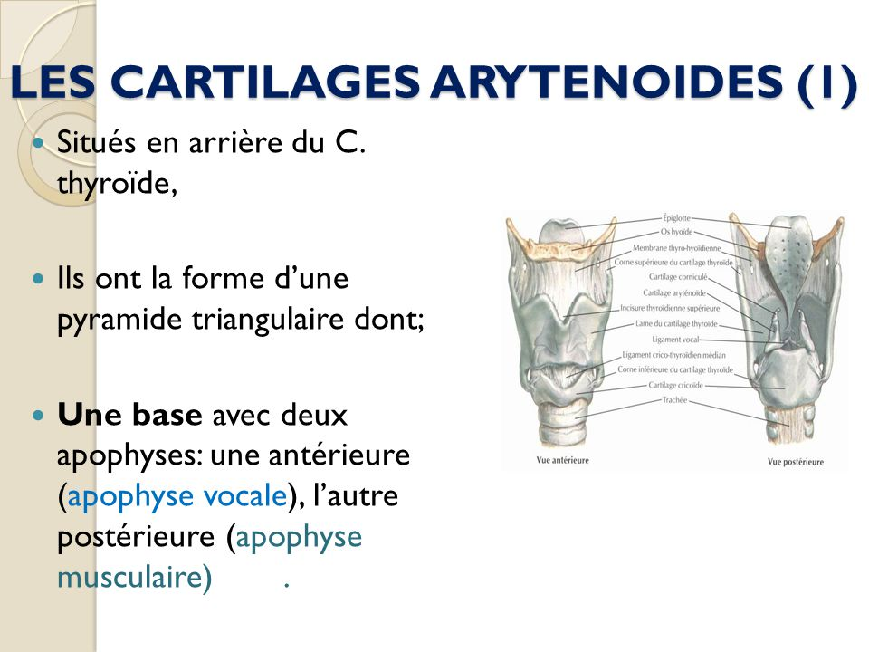 LES CARTILAGES ARYTENOIDES (1)