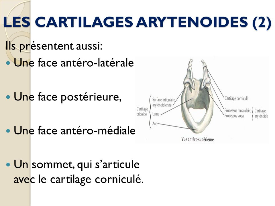 LES CARTILAGES ARYTENOIDES (2)