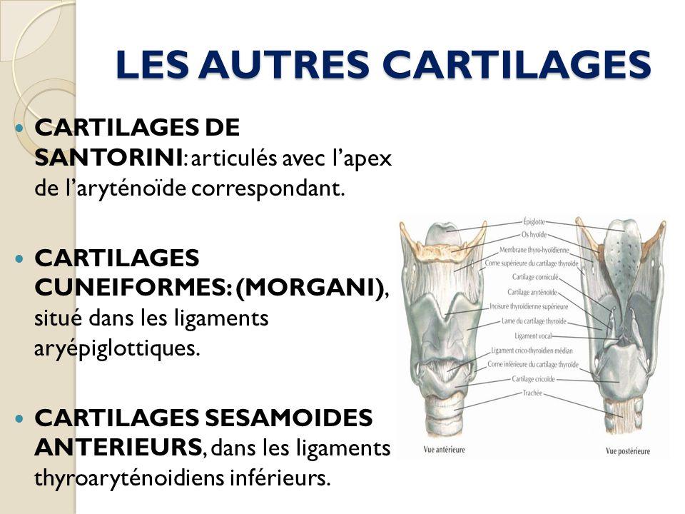 LES AUTRES CARTILAGES CARTILAGES DE SANTORINI: articulés avec l'apex de l'aryténoïde correspondant.