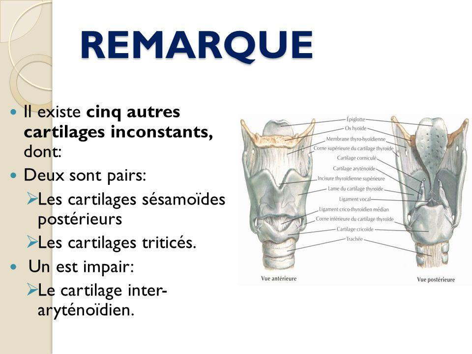 REMARQUE Il existe cinq autres cartilages inconstants, dont:
