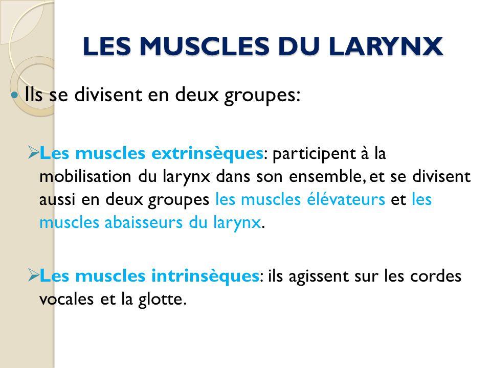 LES MUSCLES DU LARYNX Ils se divisent en deux groupes: