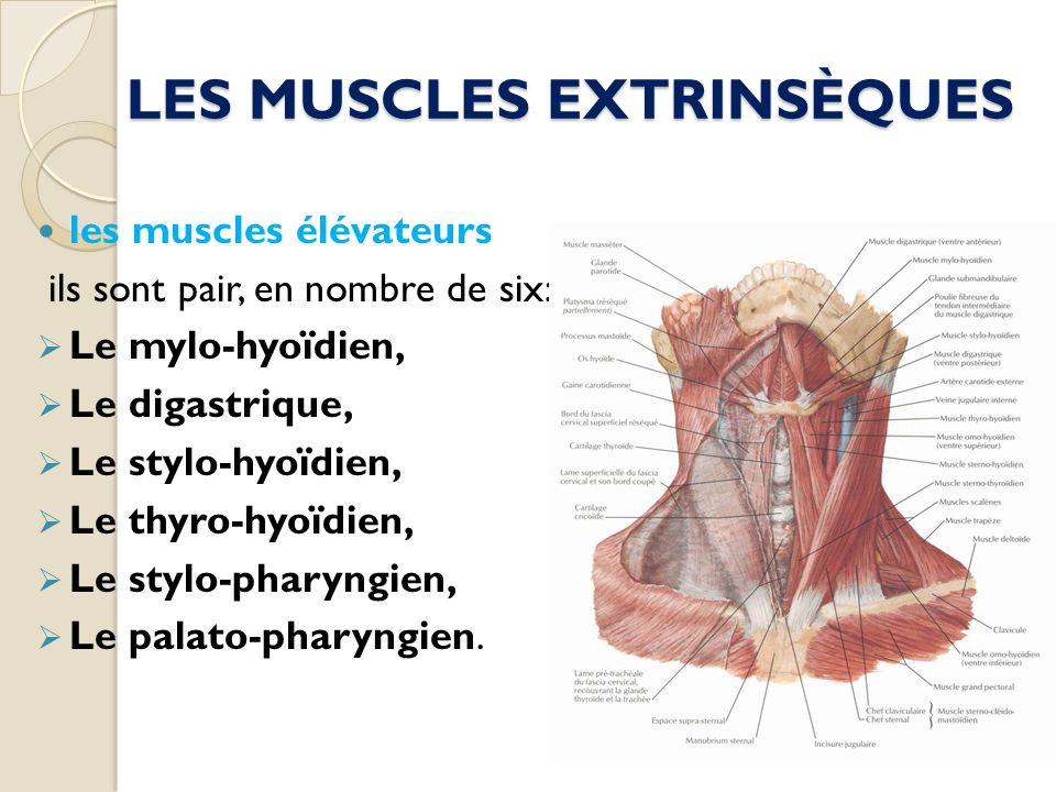 LES MUSCLES EXTRINSÈQUES