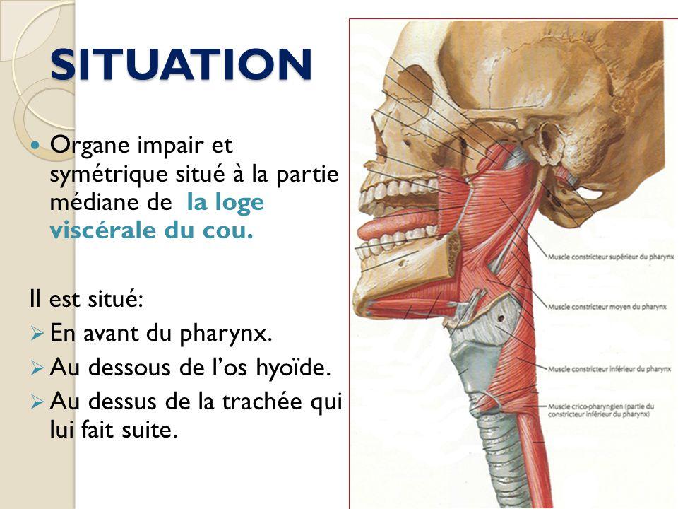 SITUATION Organe impair et symétrique situé à la partie médiane de la loge viscérale du cou. Il est situé: