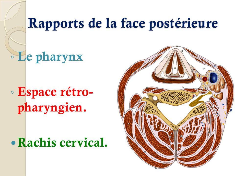 Rapports de la face postérieure