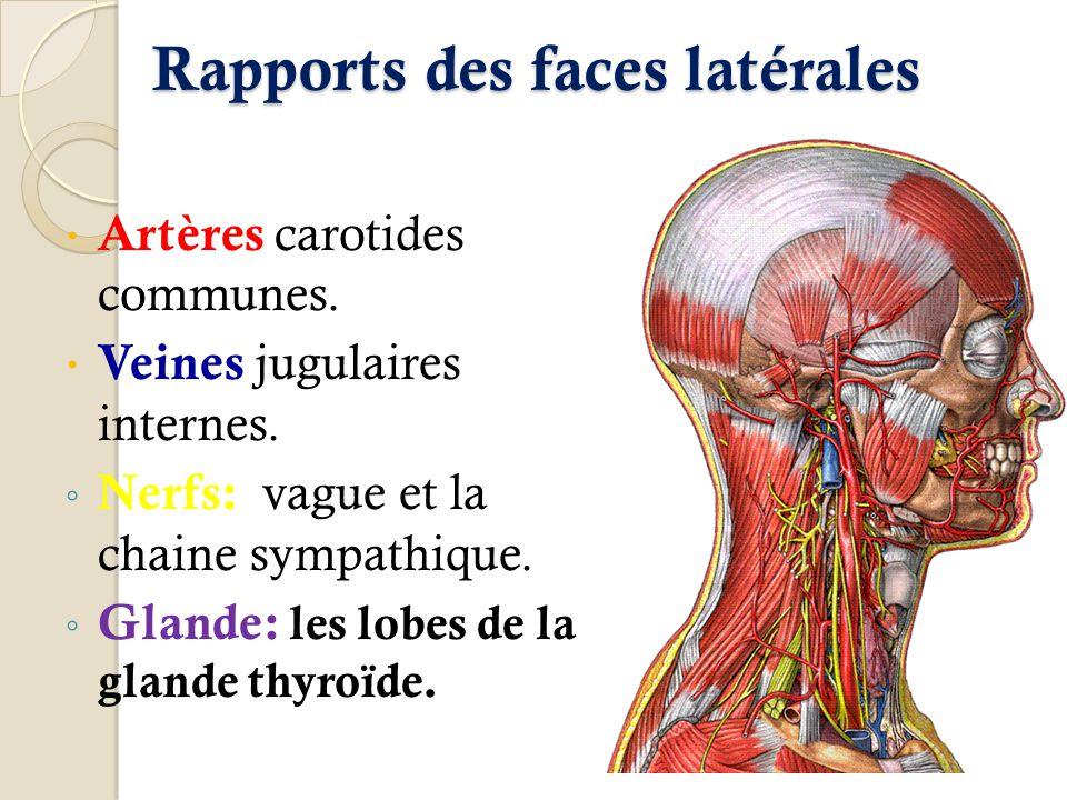 Rapports des faces latérales
