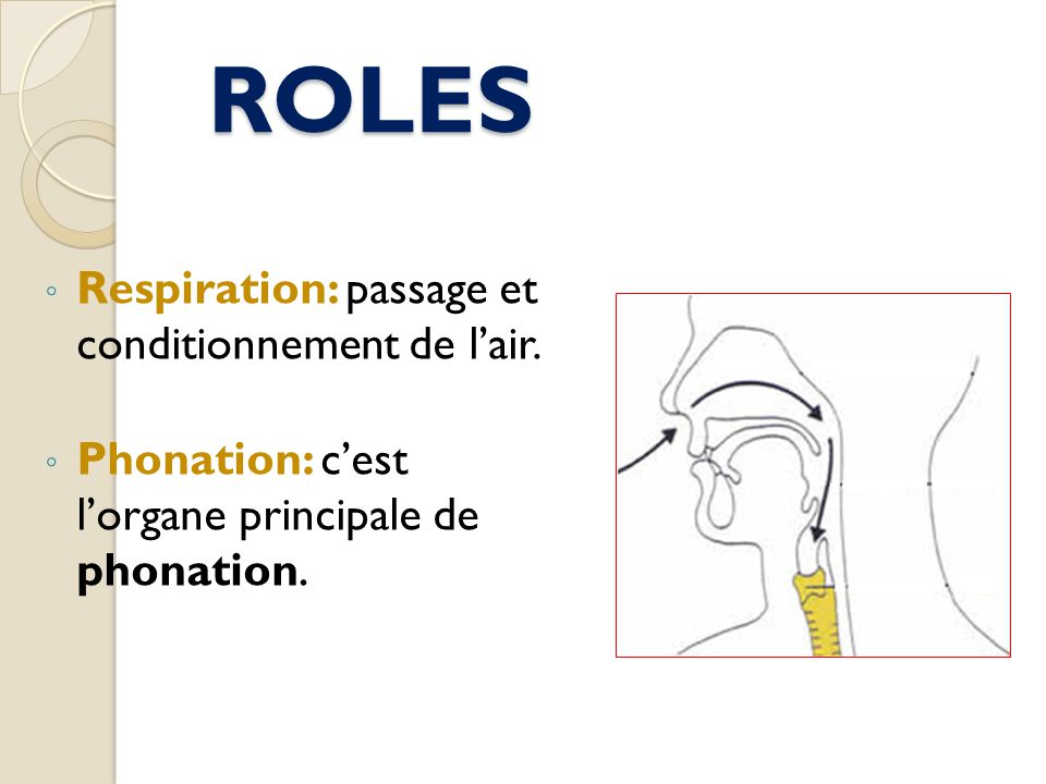ROLES Respiration: passage et conditionnement de l'air.