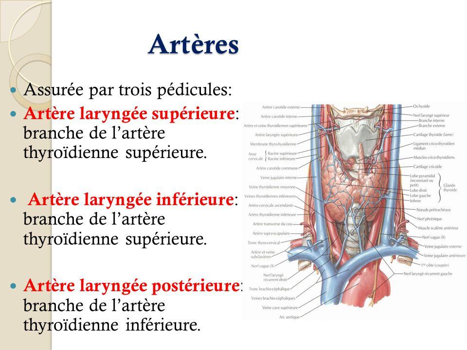 Artères Assurée par trois pédicules: