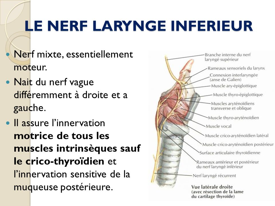 LE NERF LARYNGE INFERIEUR
