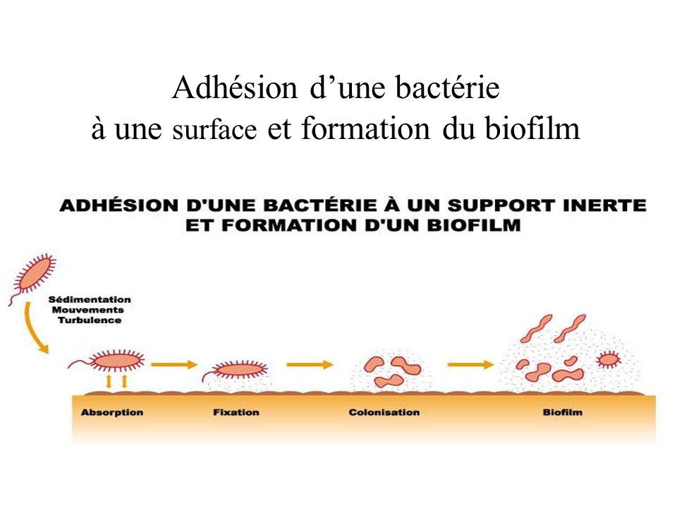 Adhésion d'une bactérie à une surface et formation du biofilm