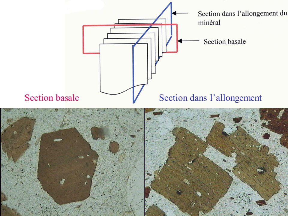 Section basale Section dans l'allongement