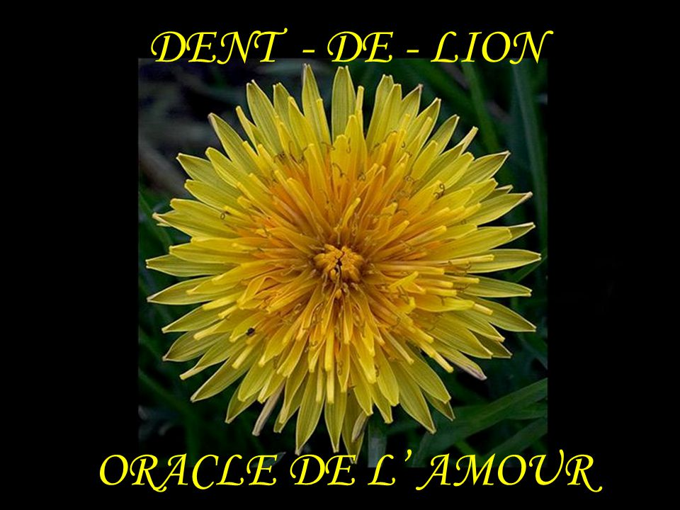 DENT - DE - LION ORACLE DE L' AMOUR