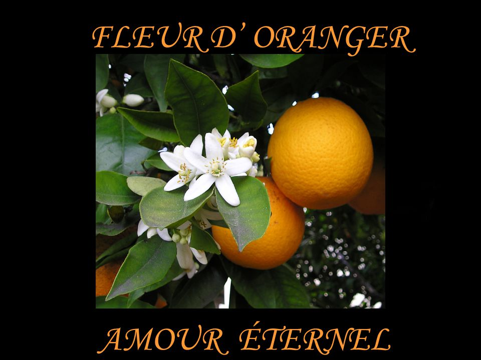 FLEUR D' ORANGER AMOUR ÉTERNEL