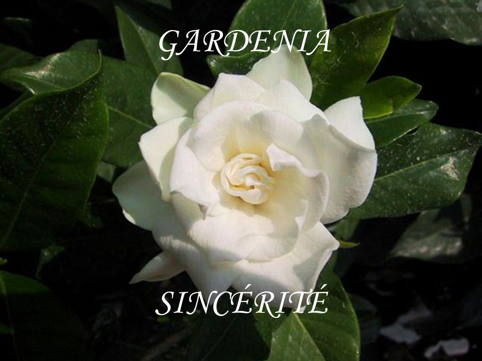 GARDENIA SINCÉRITÉ