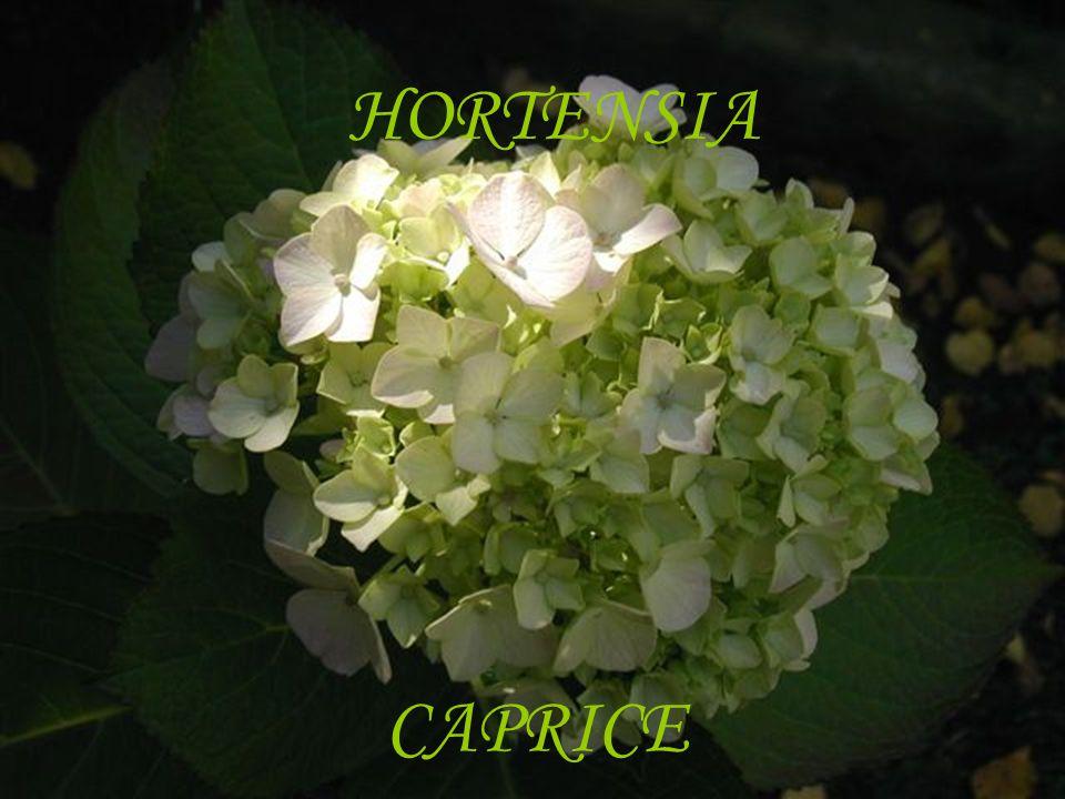 HORTENSIA CAPRICE