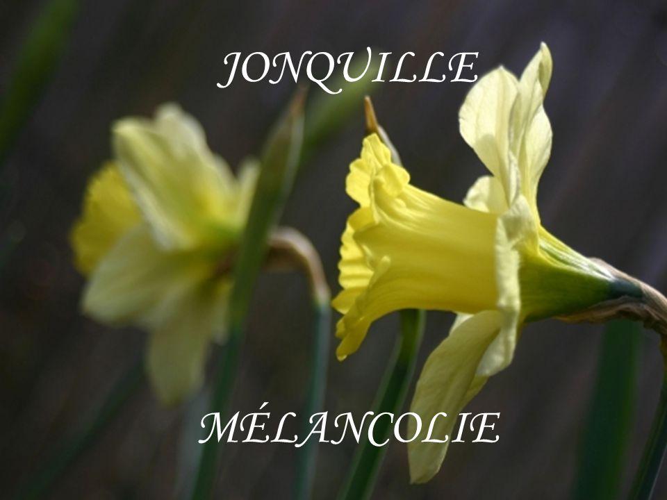 JONQUILLE MÉLANCOLIE