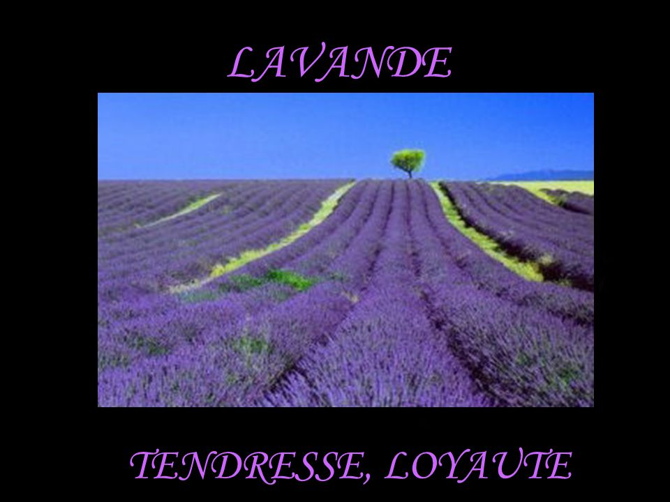 LAVANDE TENDRESSE, LOYAUTE