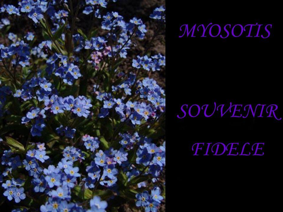 MYOSOTIS SOUVENIR FIDELE