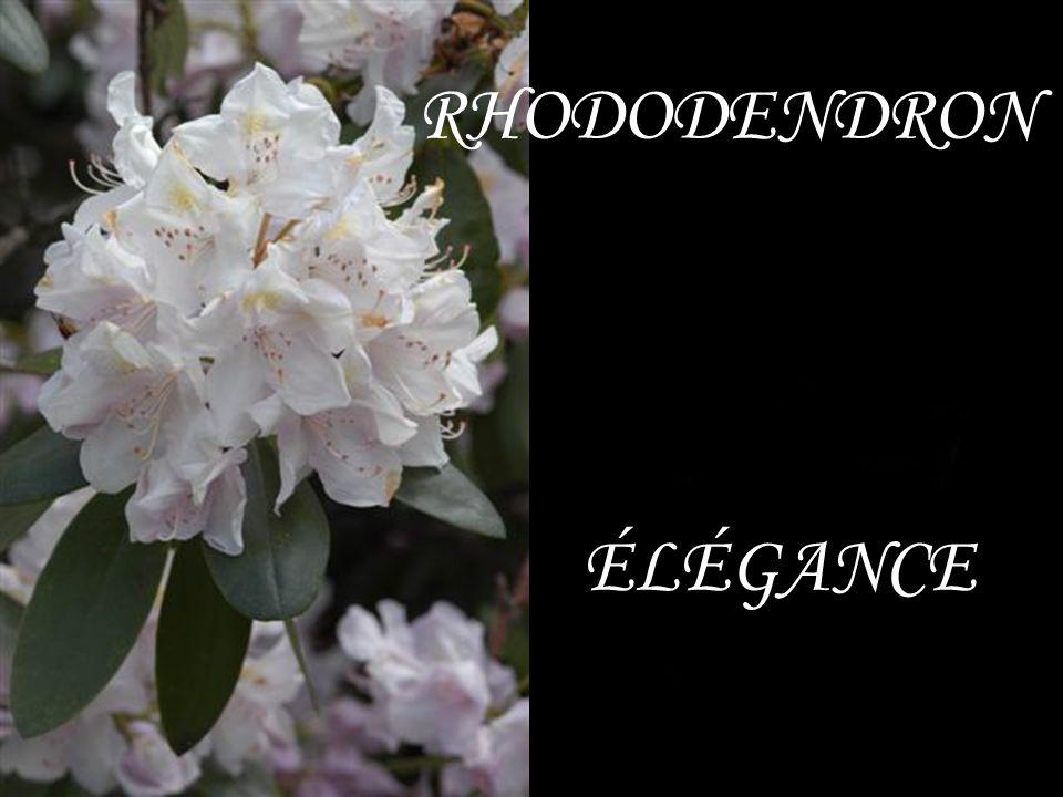 RHODODENDRON ÉLÉGANCE