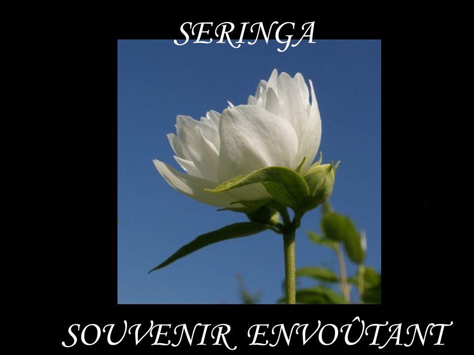 SERINGA SOUVENIR ENVOÛTANT