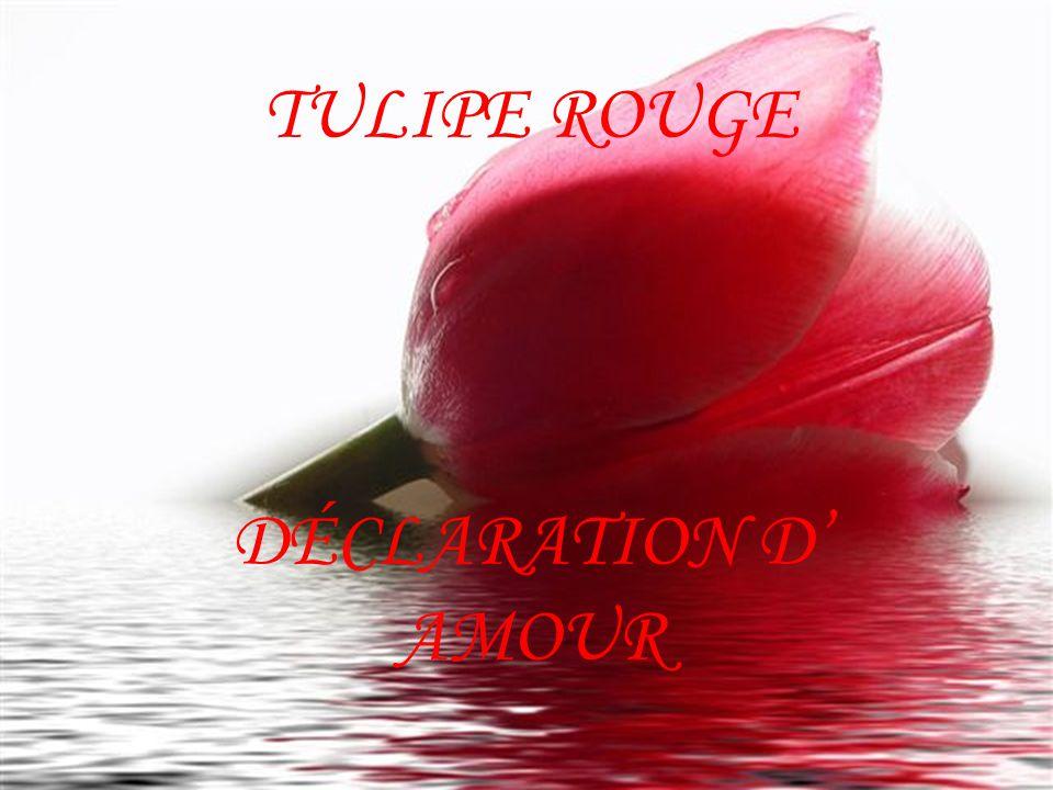 TULIPE ROUGE DÉCLARATION D' AMOUR
