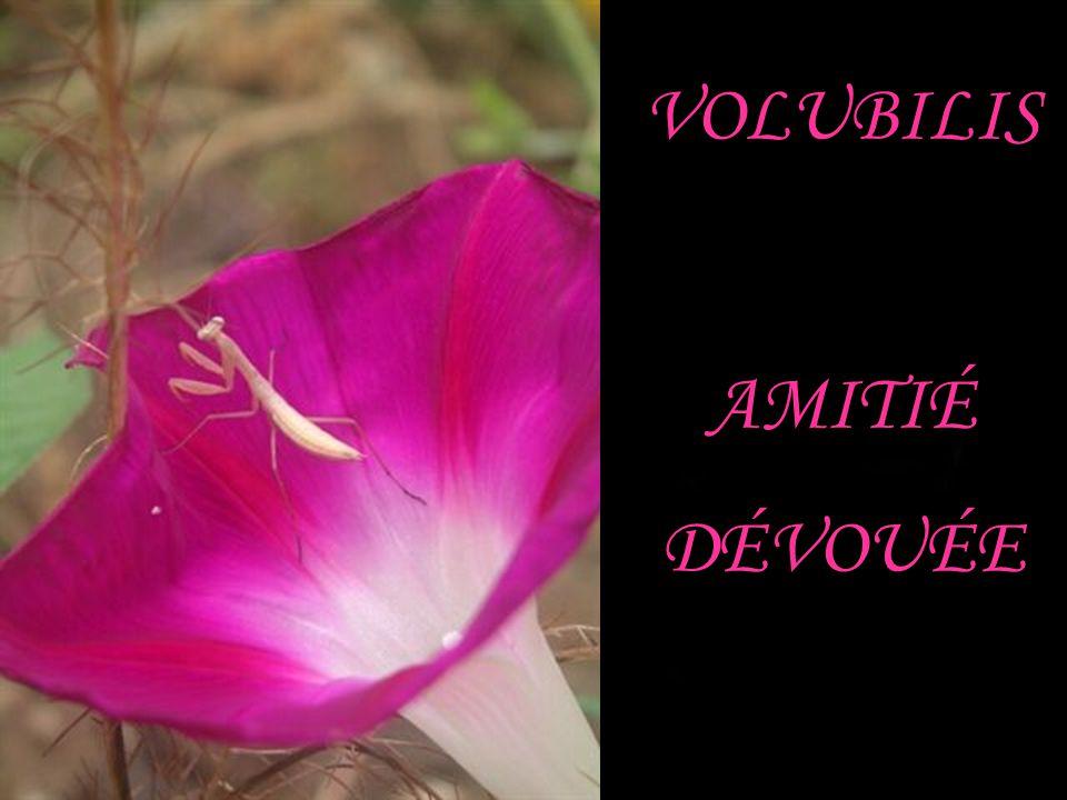 VOLUBILIS AMITIÉ DÉVOUÉE