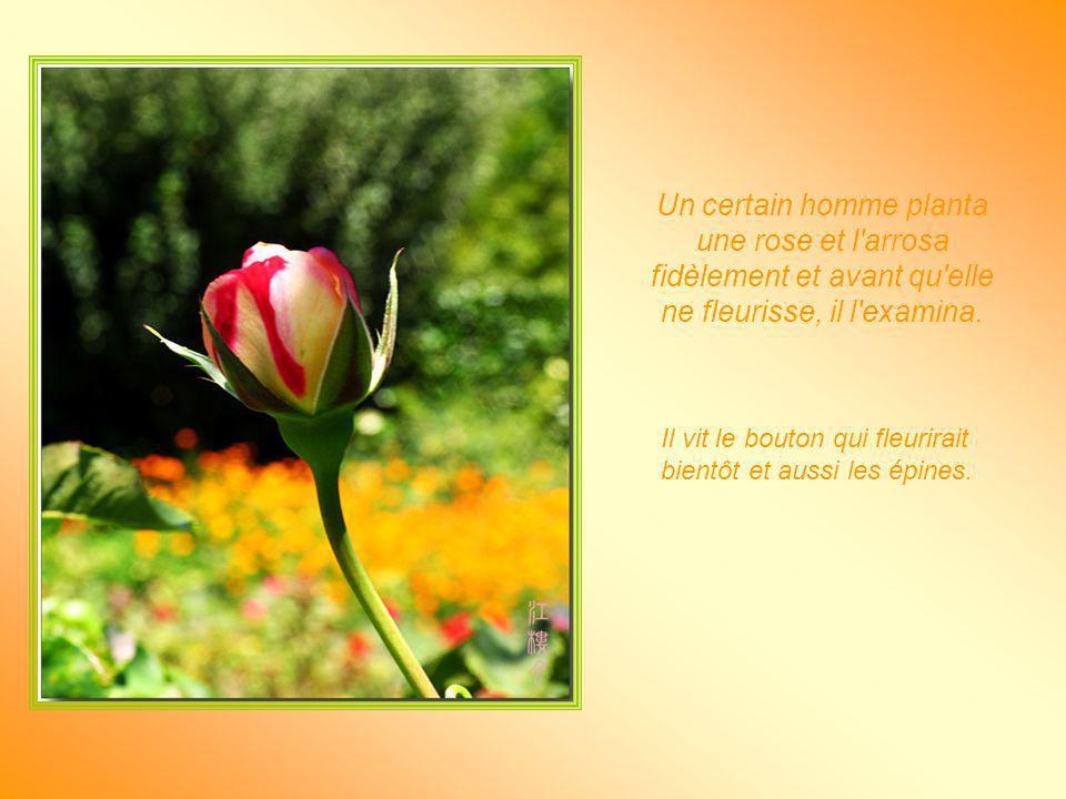 Un certain homme planta une rose et l arrosa fidèlement et avant qu elle ne fleurisse, il l examina.