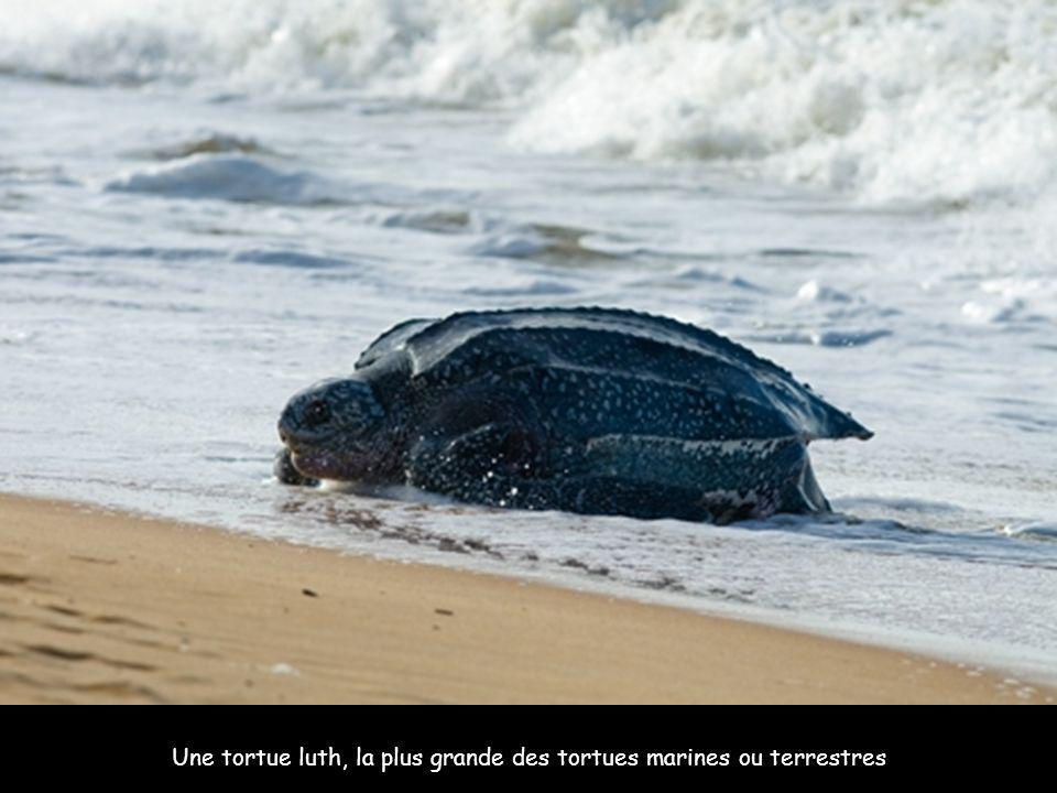 Une tortue luth, la plus grande des tortues marines ou terrestres