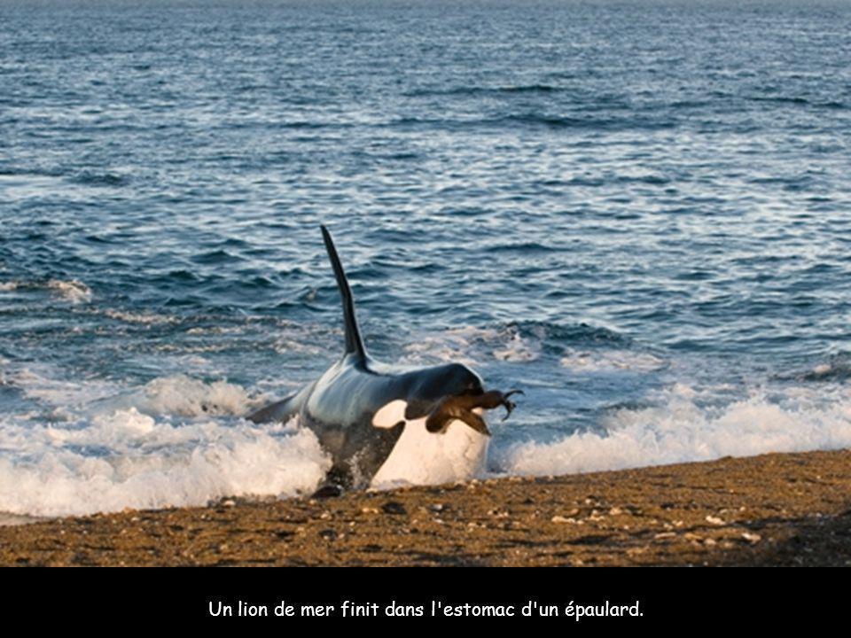 Un lion de mer finit dans l estomac d un épaulard.