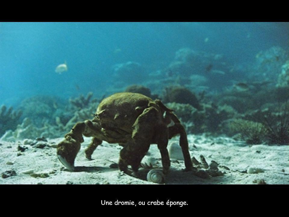 Une dromie, ou crabe éponge.