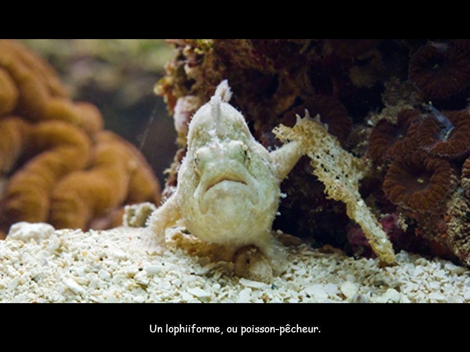 Un lophiiforme, ou poisson-pêcheur.