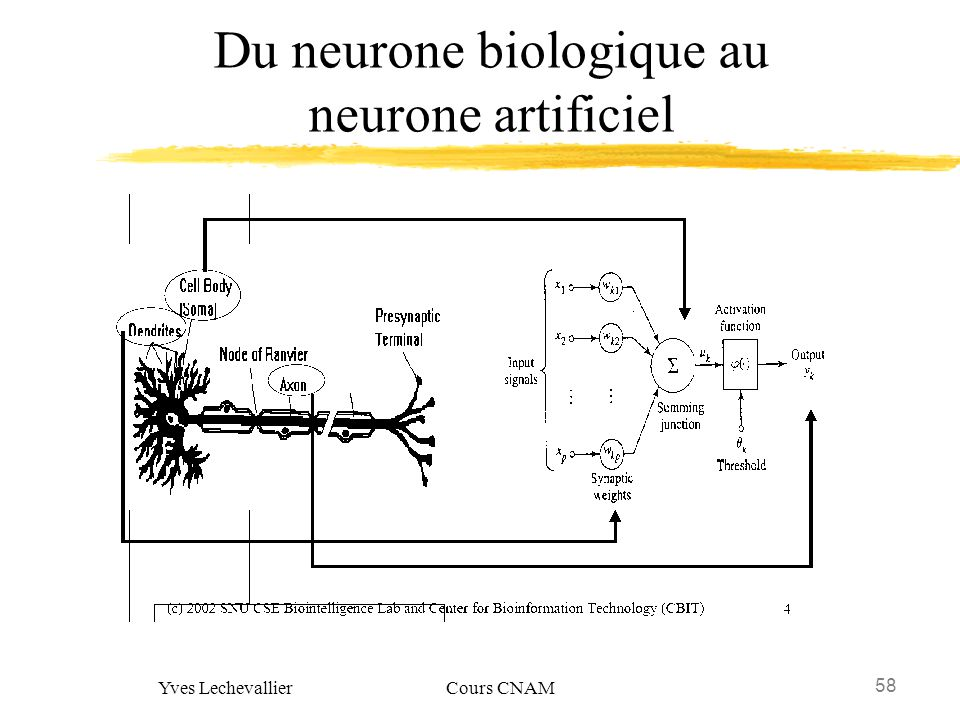 Du neurone biologique au neurone artificiel