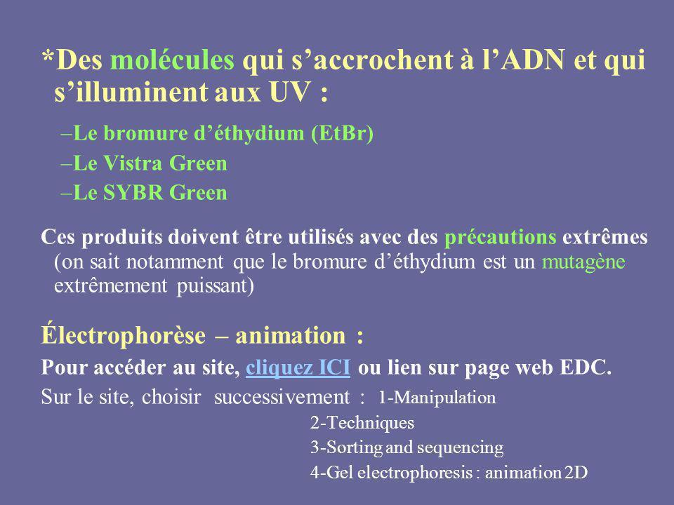 *Des molécules qui s'accrochent à l'ADN et qui s'illuminent aux UV :