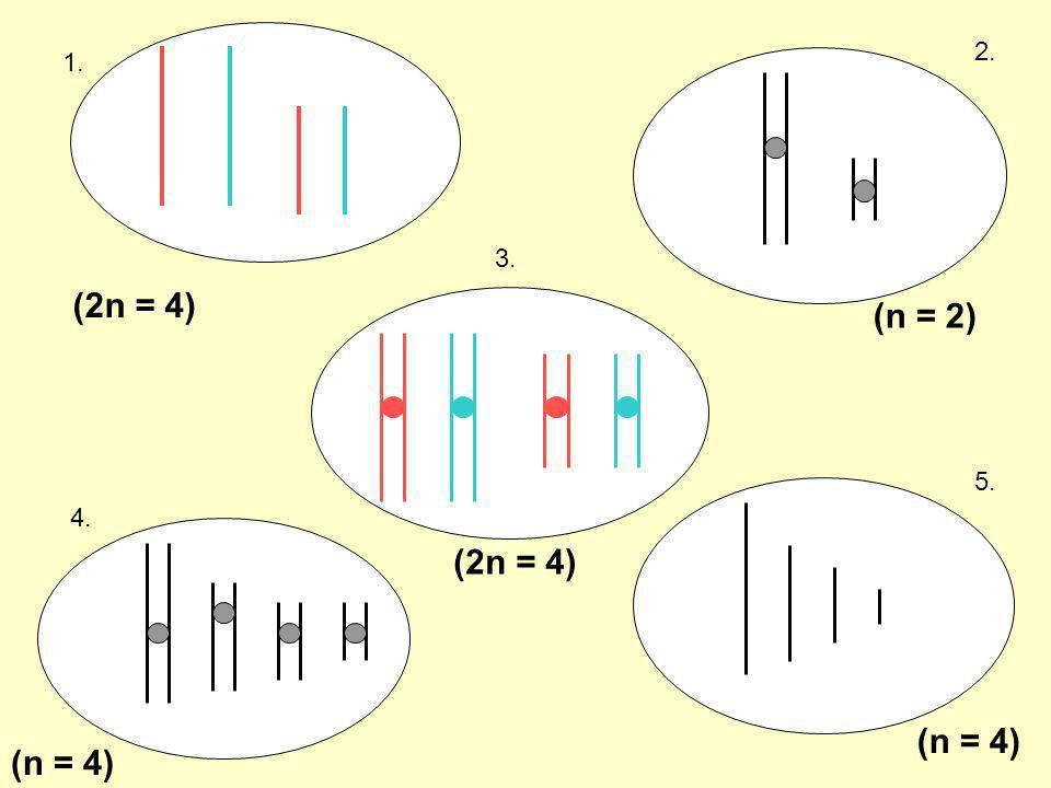 2. 1. 3. (2n = 4) (n = 2) 5. 4. (2n = 4) (n = 4) (n = 4)