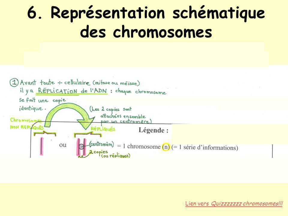 6. Représentation schématique des chromosomes Répliqués vs non répliqués État diploïde (paires d'homologues, 2n) vs haploïde (n)
