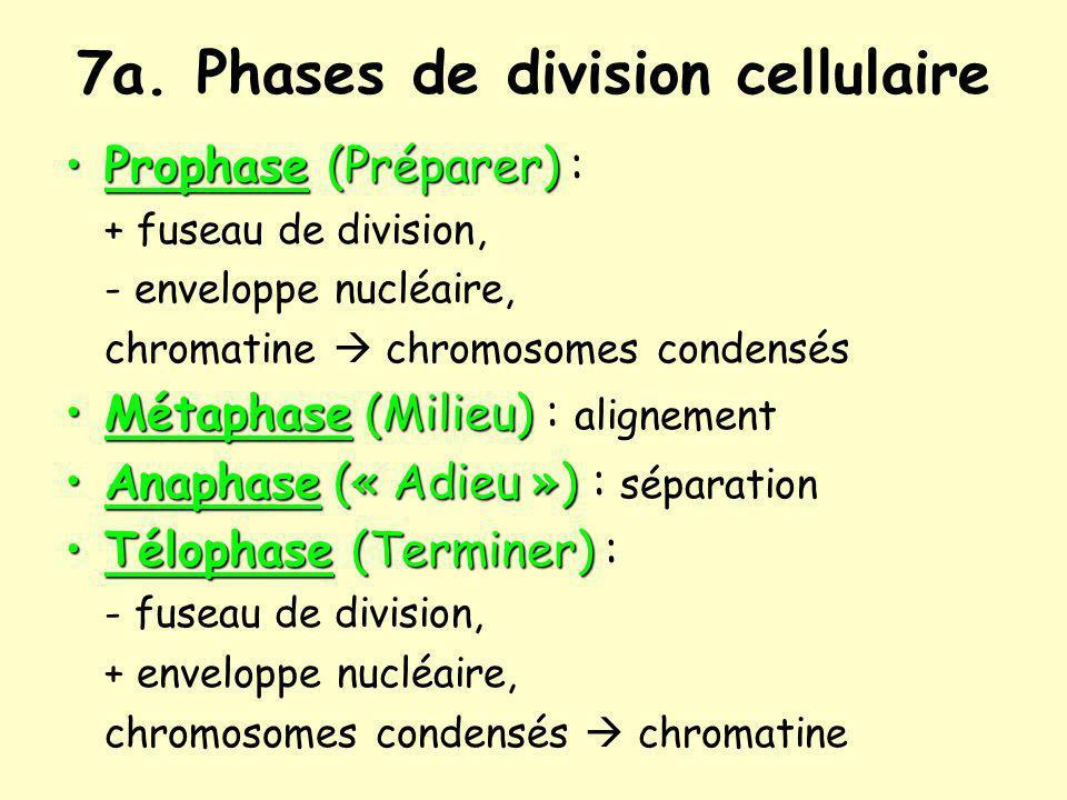 7a. Phases de division cellulaire