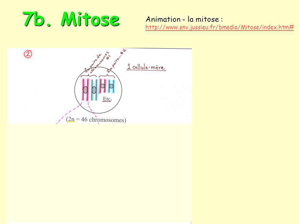 7b. Mitose Animation - la mitose :