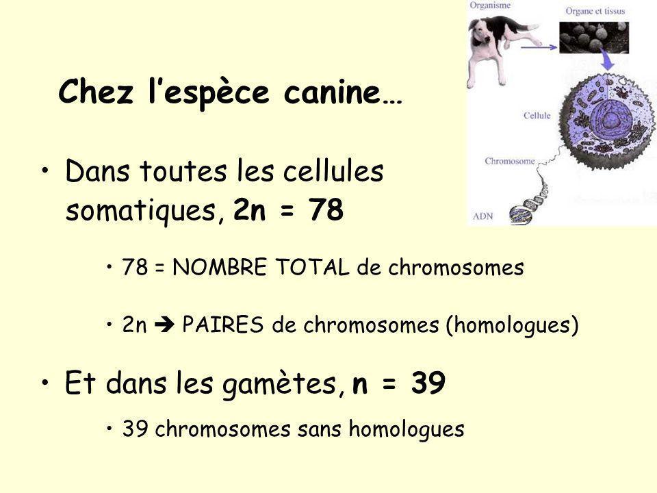 Chez l'espèce canine… Dans toutes les cellules somatiques, 2n = 78
