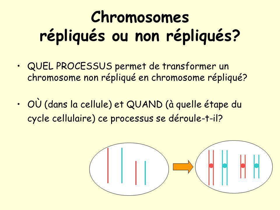 Chromosomes répliqués ou non répliqués