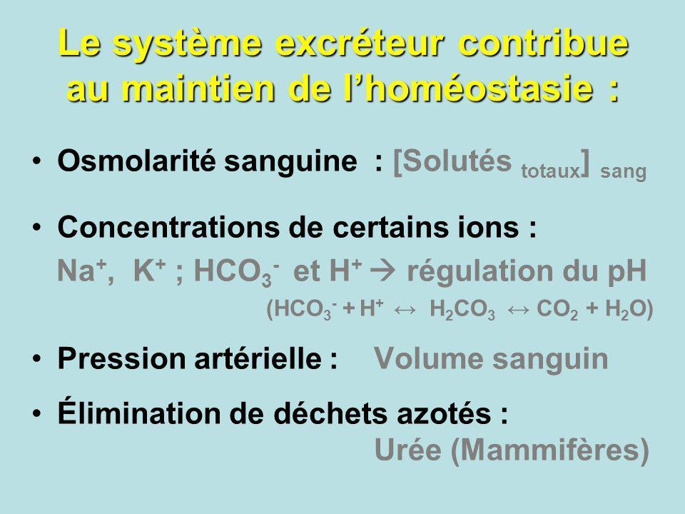 Le système excréteur contribue au maintien de l'homéostasie :