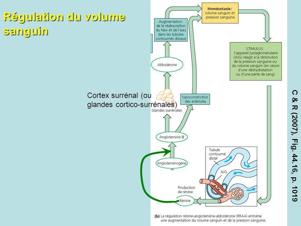 Régulation du volume sanguin