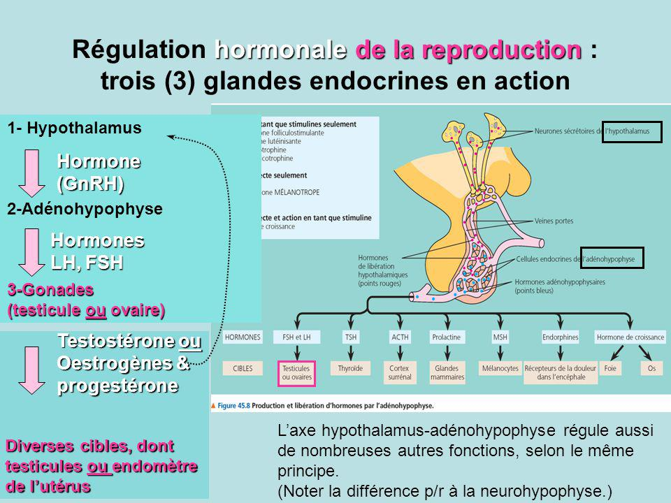 Régulation hormonale de la reproduction : trois (3) glandes endocrines en action