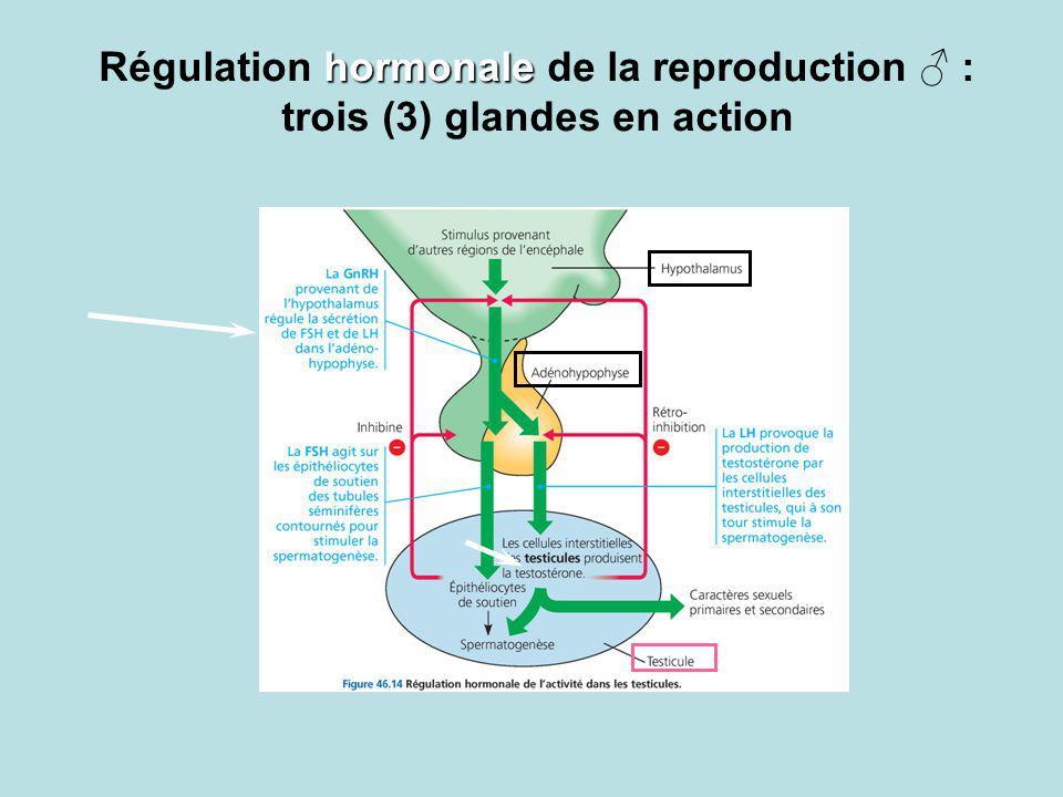 Régulation hormonale de la reproduction ♂ : trois (3) glandes en action