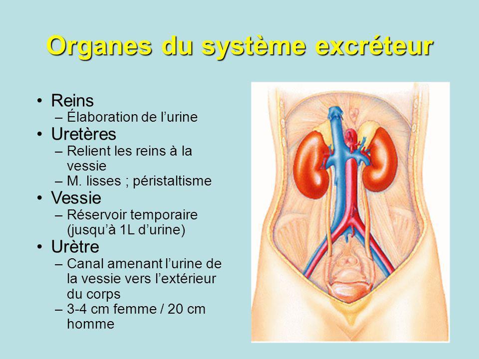 Organes du système excréteur