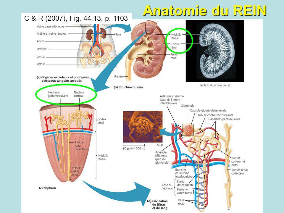 Anatomie du REIN C & R (2007), Fig. 44.13, p. 1103