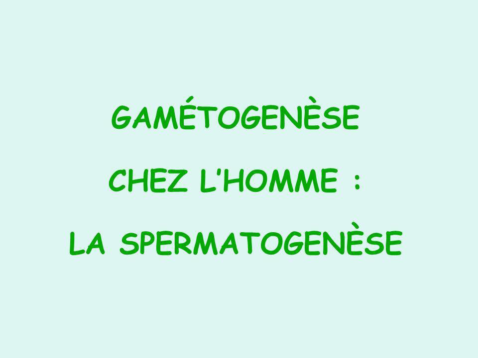 GAMÉTOGENÈSE CHEZ L'HOMME : LA SPERMATOGENÈSE