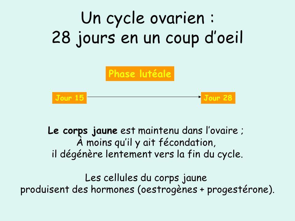 Un cycle ovarien : 28 jours en un coup d'oeil