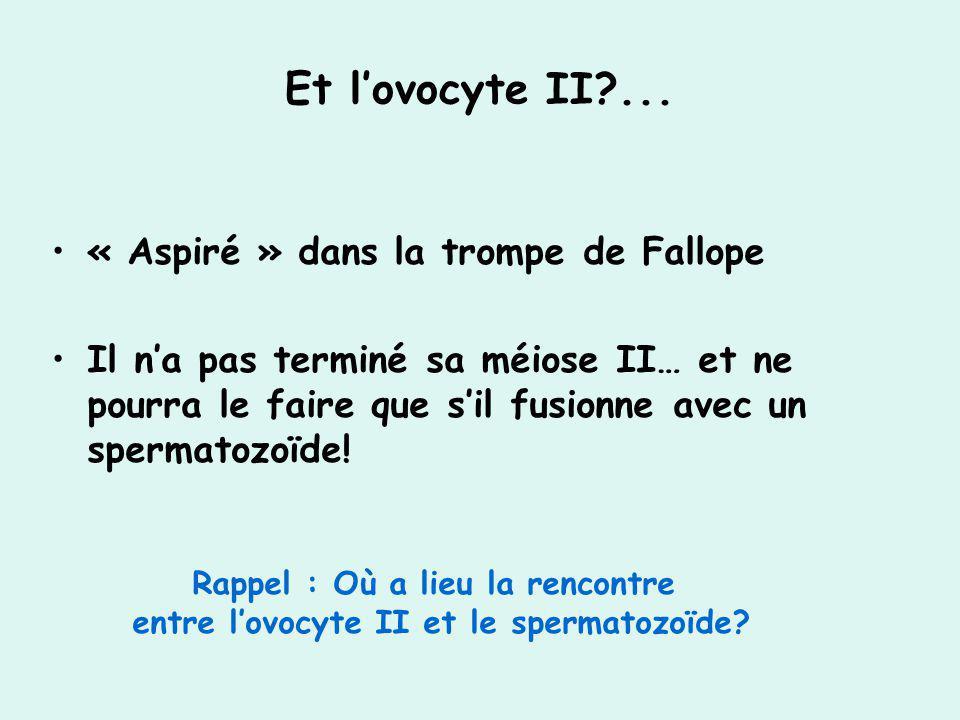Et l'ovocyte II ... « Aspiré » dans la trompe de Fallope