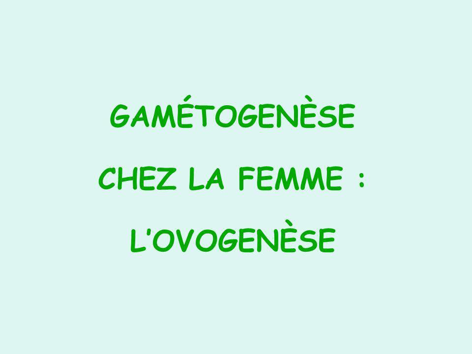 GAMÉTOGENÈSE CHEZ LA FEMME : L'OVOGENÈSE