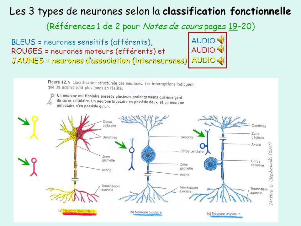 Les 3 types de neurones selon la classification fonctionnelle (Références 1 de 2 pour Notes de cours pages 19-20)