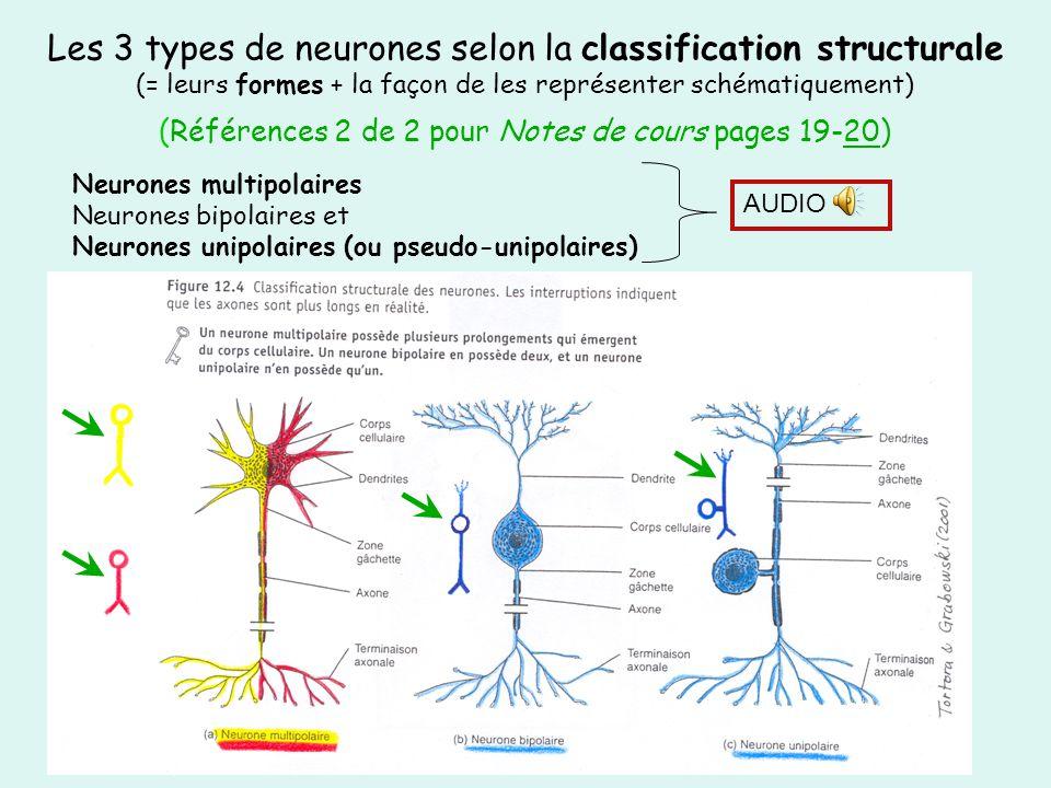 Les 3 types de neurones selon la classification structurale (= leurs formes + la façon de les représenter schématiquement) (Références 2 de 2 pour Notes de cours pages 19-20)